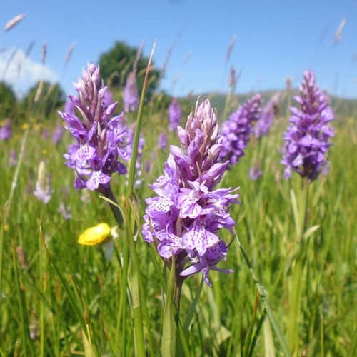 Southern Marsh Orchid Malvern Common website.jpg