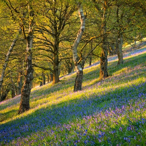 Bluebells website.jpg
