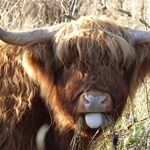 Highland Cattle Grazing Old Hills (3) low res.jpg
