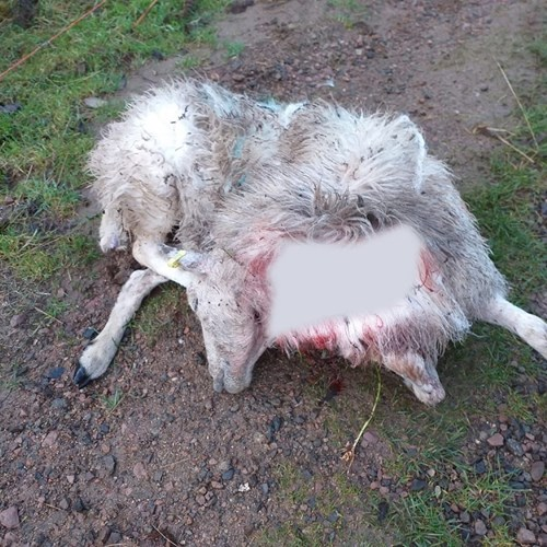 Dead sheep Dog 20191111 Table Hill low res.jpg