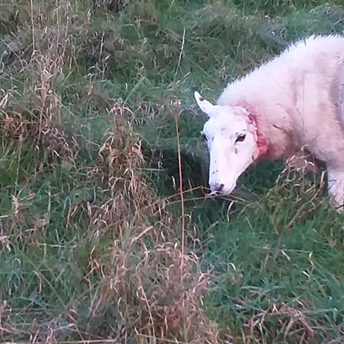Injured Sheep dog 20191107 North Hill.jpg