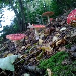 Fly agaric Holywell Coppice low res.jpg